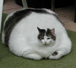 gato con obesidad extrema.